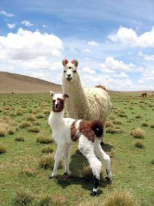 "Bolivian llama baby says: ""come on community, let's do this!"""